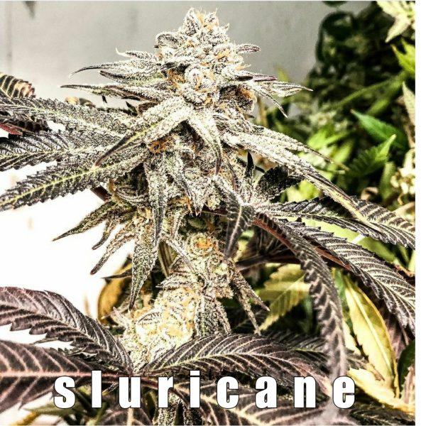 buckeye purple x slurricane 7