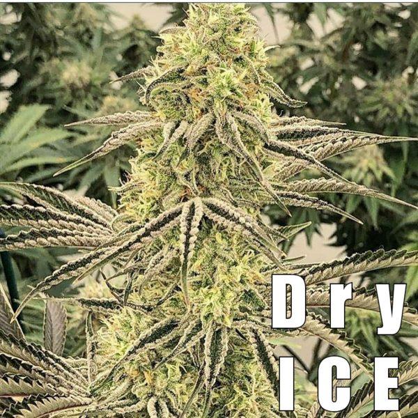 DRY ICE Strain