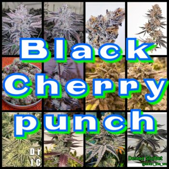Black cheery punch strain