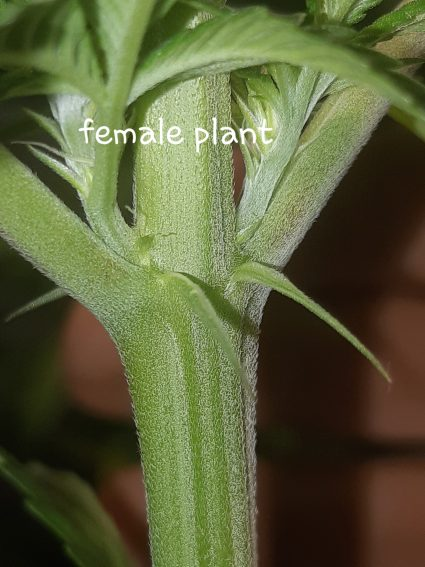 Female Cannabis Plants