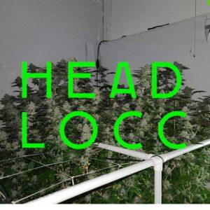 headlocc strain